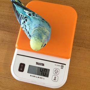 インコの体重測定